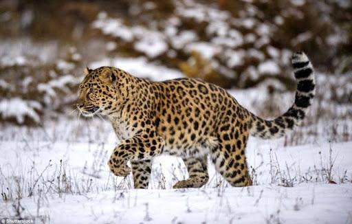 Báo Amur đang kêu cứu nguy cơ bị tuyêt chủng