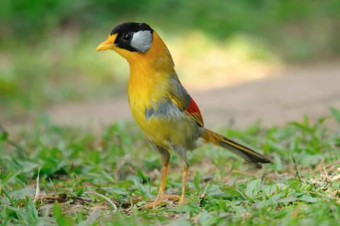 Một con chim ngũ sắc đi kiếm ăn
