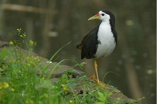 Cách nuôi và thuần chim quốc rừng. Ép chúng sinh sản và nuôi chim con