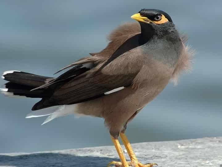 Chim sáo nâu có biết nói tiếng người không ? Dạy chúng nói như thế nào ?