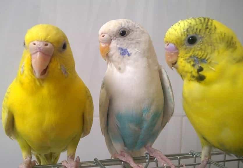 Chim yến phụng non