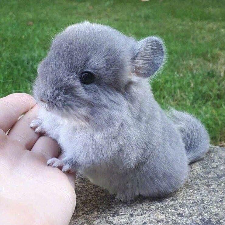 Cách nuôi chuột chinchilla như thế nào? Chỉ điểm bán uy tín