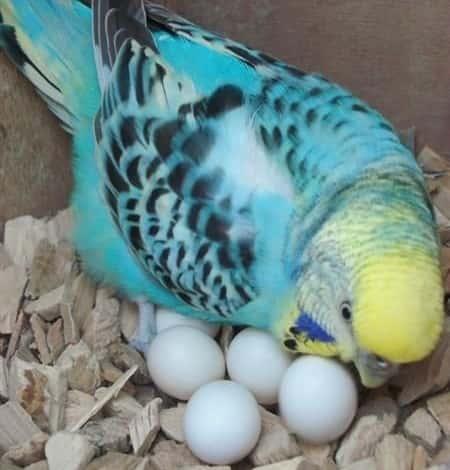 Chim yến phụng sinh sản