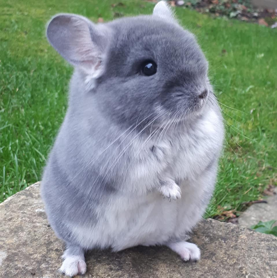 Cách nuôi chuột chonchilla