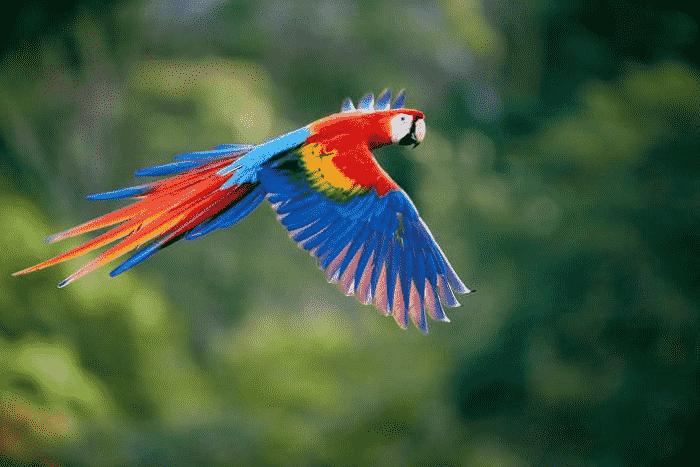 Vẹt nam mỹ đang bay trong khu vườn