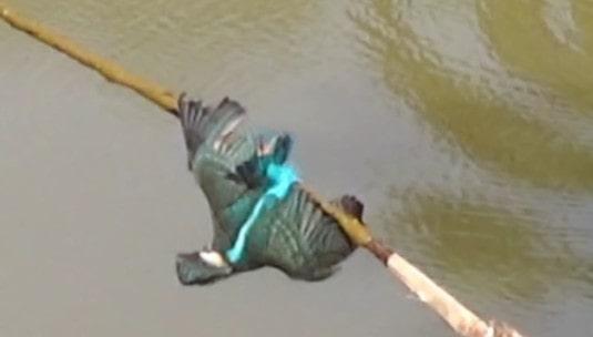 cách bẫy chim bói cá