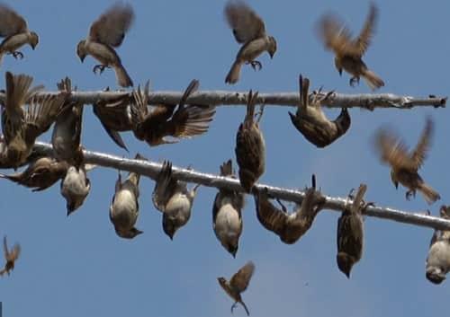 bẫy chim sẽ bằng keo