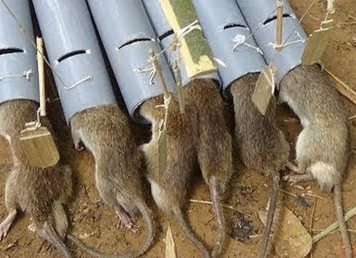 Cách làm mồi bẫy chuột gia truyền và bố trí bẫy đúng cách