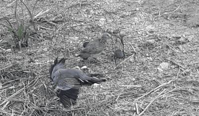 bẫy chim cu vằn