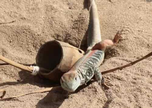 Cách bẫy dông cát cực kỳ hiệu quả không thể bỏ qua