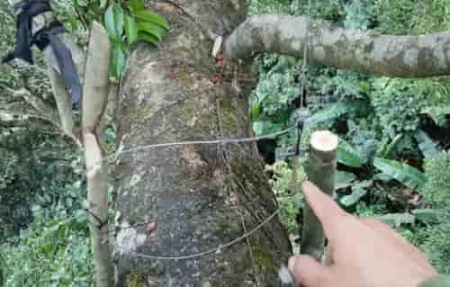 thòng bẫy sóc trên cây