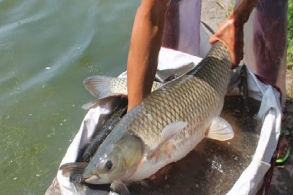 Cách câu cá trắm cỏ đúng cách