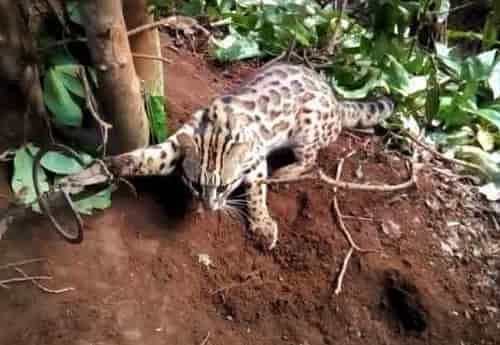 bẫy mèo rừng