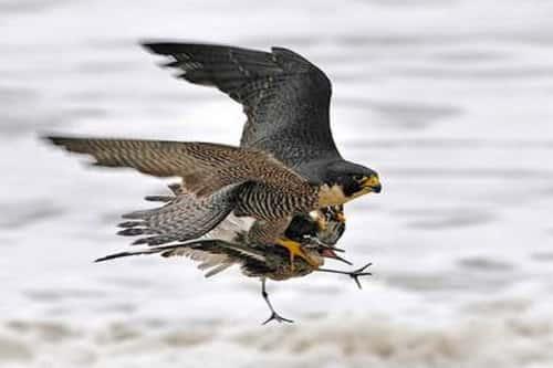 chim cắt lớn săn mồi