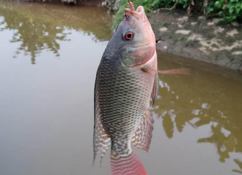 Cách làm mồi câu cá rô phi không sót một con