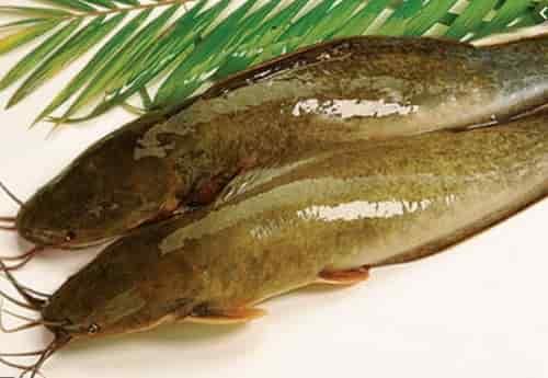 Cách làm mồi câu cá trê sông gia truyền hiệu quả gắp 3 lần