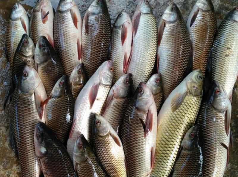 câu cá trôi