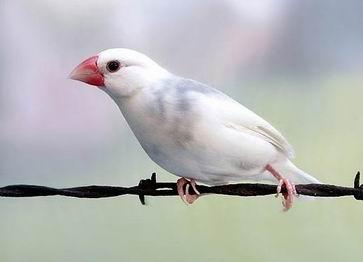 Chim bạc má trắng