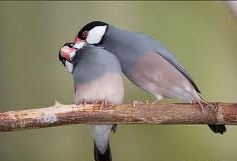 Chim bạc má giá bao nhiêu ? Nuôi như thế nào là đúng cách ?