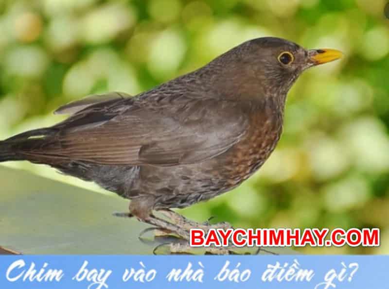 Chim bay vào nhà báo hiệu thần tài hay tử thần sắp ghé thăm ?