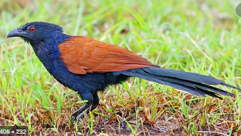 Hướng dẫn nuôi và những cách bẫy chim bìm bịp hiệu quả.