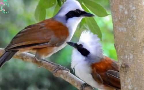 Tiếng chim bồ chao mồi, khứu đầu bạc chuẩn dùng để bẫy cực kỳ hiệu quả