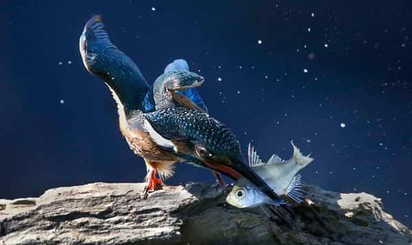 chim bói cá săn mồi