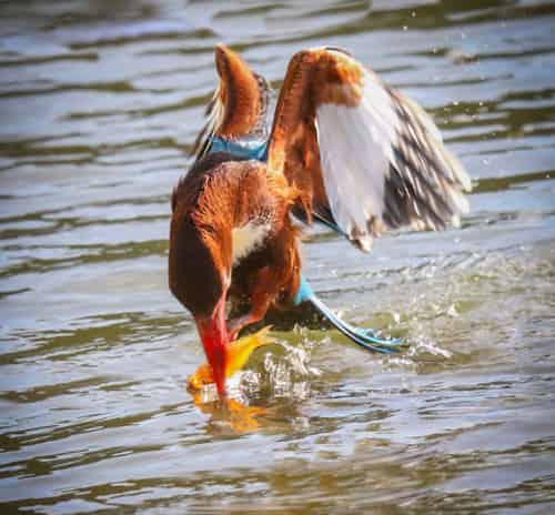 Chim bói cá ăn gì? Săn mồi ra sao? Cách nuôi chúng.