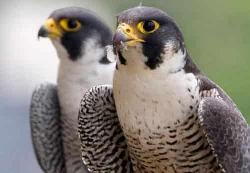 Chim cắt lớn săn mồi ra sao? Cách huấn luyện chúng thành sát thủ !