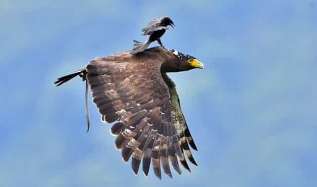 chim chèo bẻo cưỡi lên lưng chim đại bàn