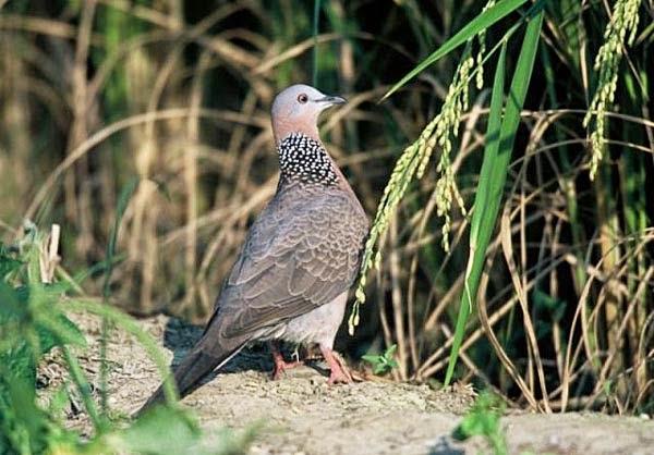 Cách nuôi và thuần chim cu gáy lên mồi, hướng dẫn cách đặt bẫy hiệu quả.