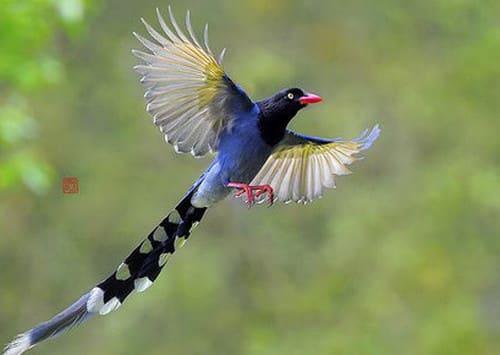 Chim giẻ cùi