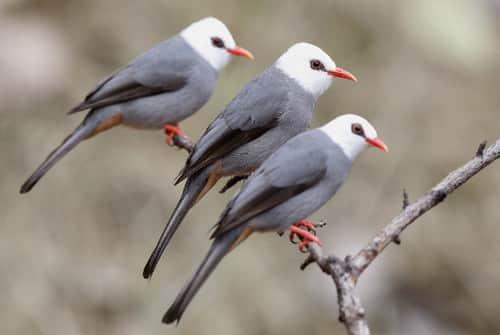 chim héc xoan