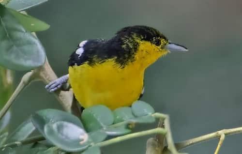 chim huýt cô ngực vàng