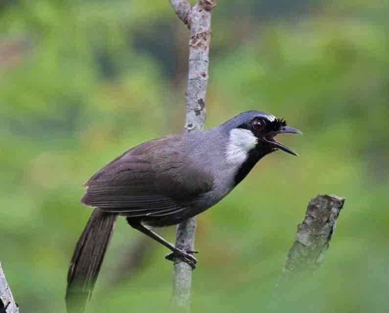 Chim khướu bạc má