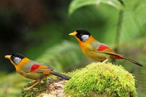 Hướng dẫn nuôi chim ngũ sắc sinh sản và phân biệt chim trống mái