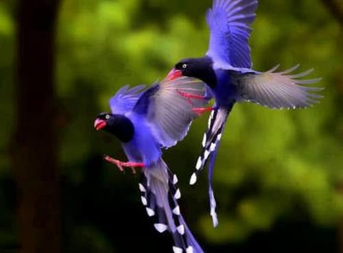 chim phượng hoàng đất