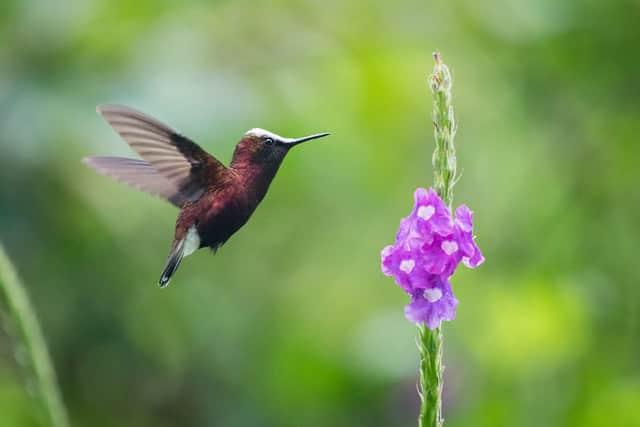 chim ruồi di cư