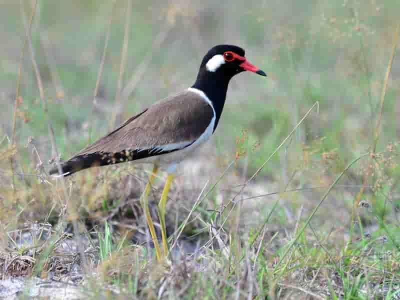 Tiếng chim te te quách và cách nuôi chim con thành công
