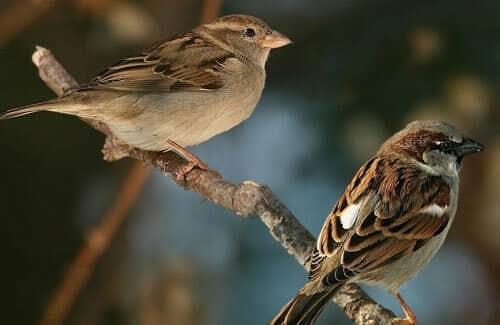 đôi chim sẽ trống và chim sẽ mái