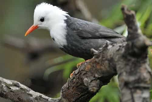 chim héc xoan đầu trắng