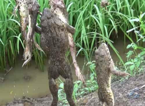 Cách làm mồi bẫy ếch, đặt lợp ếch và câu ếch bí truyền
