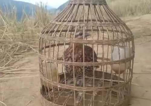 lòng bẫy chim đa đa
