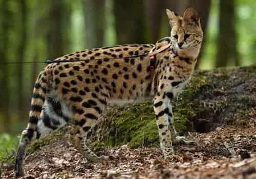 mèo rừng