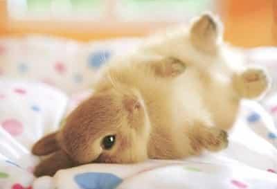 迷你觀賞兔