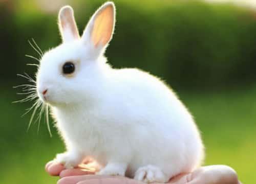 寵物是兔子