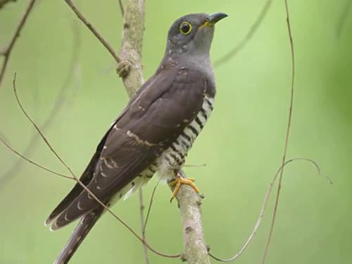 Tiếng chim bắt cô trối cột chuẩn dùng để đánh lưới và bẫy rất hiệu quả