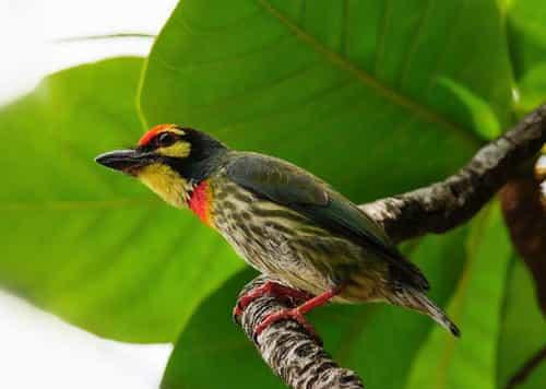 Tiếng chim cu rốc mồi chuẩn dùng để bẫy và đánh lưới rất hiệu quả