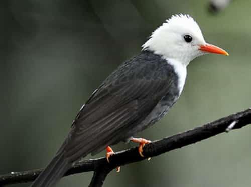 Tải tiếng chim héc xoan chuẩn và cách bẫy hiệu quả