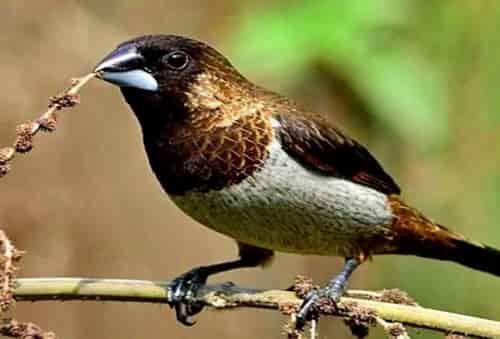 Tiếng chim ri mồi, chim sắc ô chuẩn và chia sẽ cách bẫy hiệu quả
